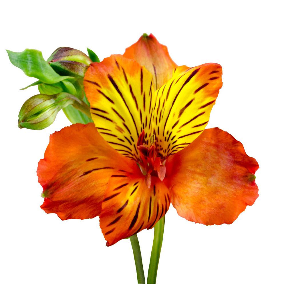 Tampa alstroemeria summer flowers stem
