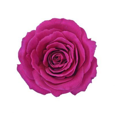 Tanoshi roses