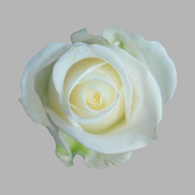 Tibet white roses