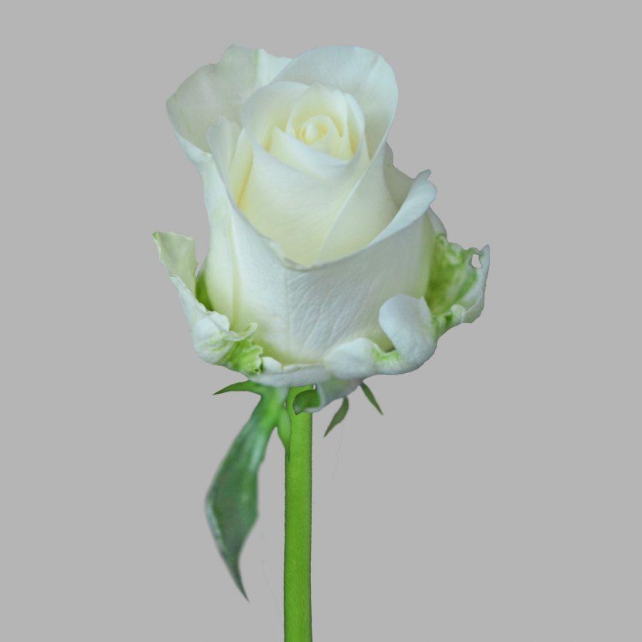 Tibet white roses front