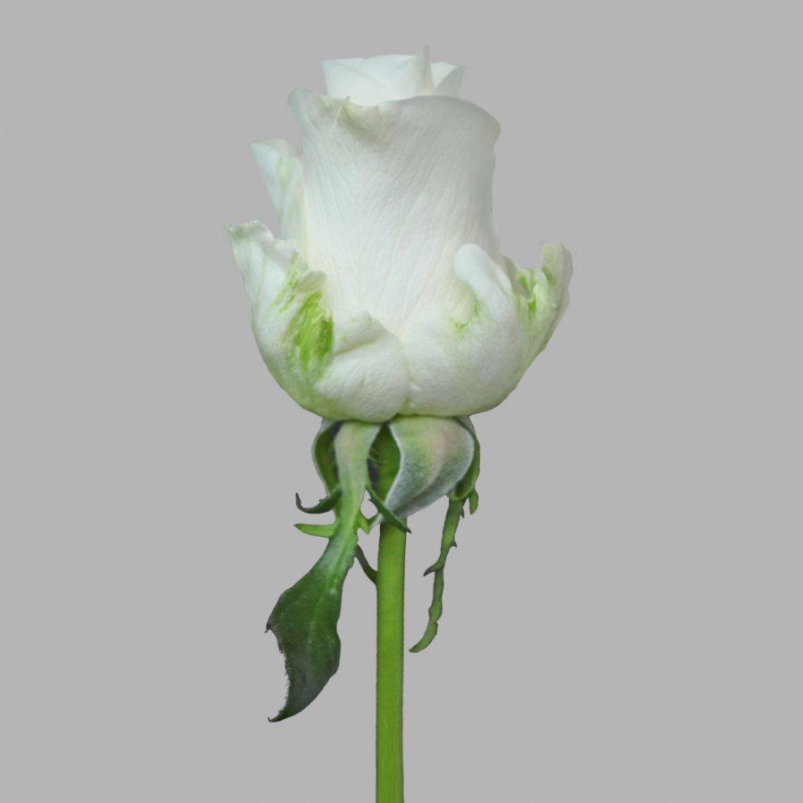 Tibet white roses side