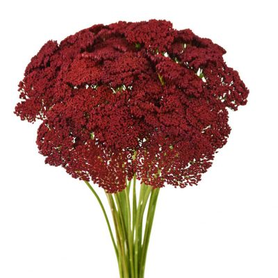 Tinted achillea red