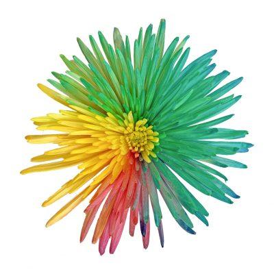 Tinted chrysanthemums rainbow