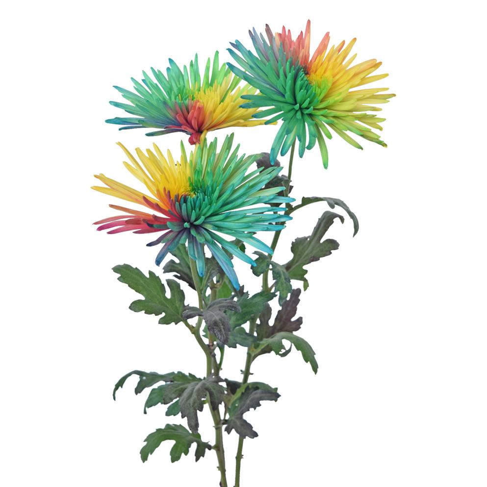 Tinted chrysanthemums rainbow side