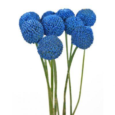 Tinted craspedias blue