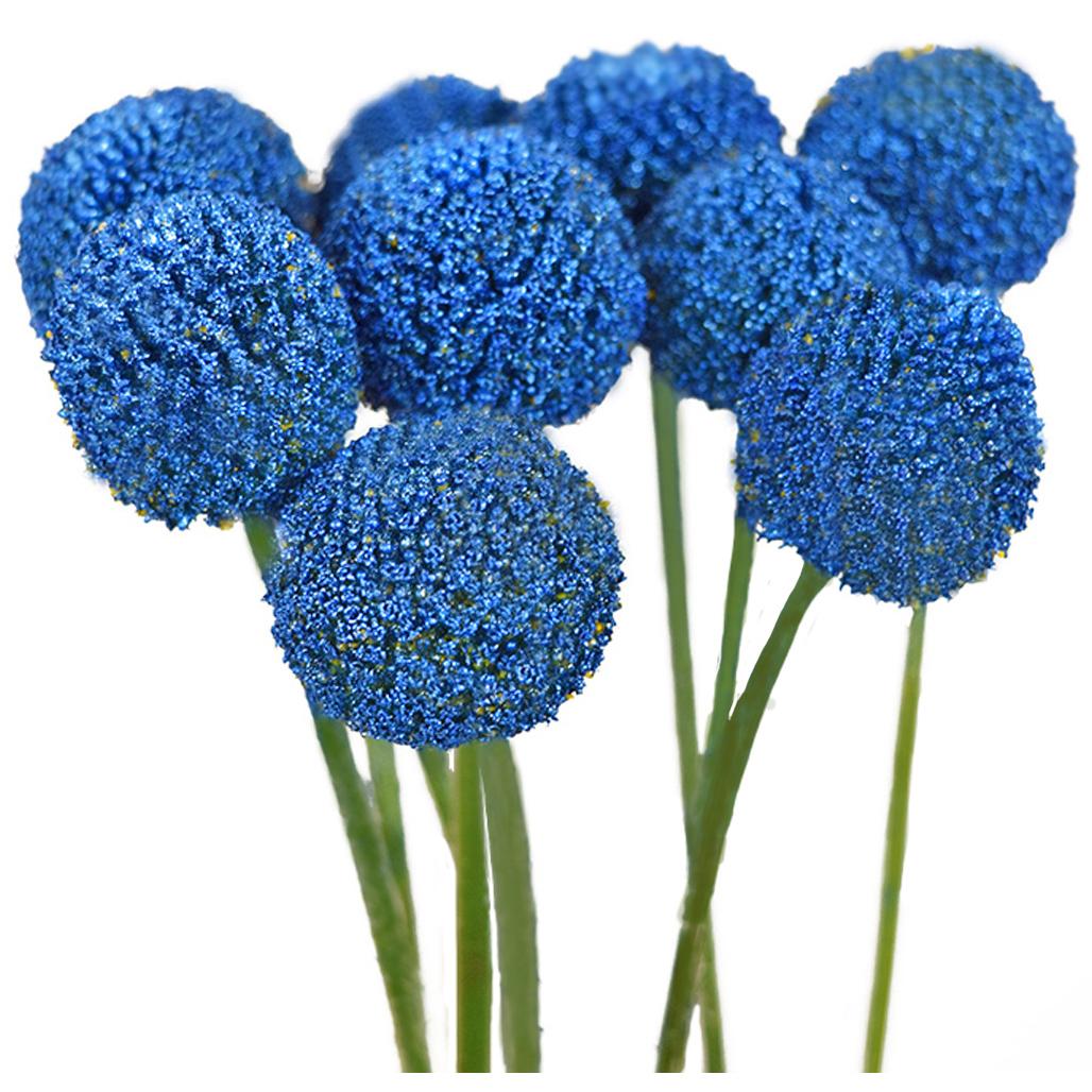 Tinted craspedias blue close up