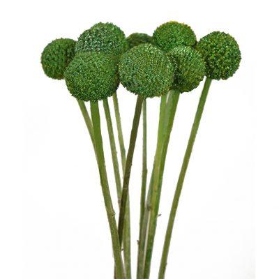 Tinted craspedias green