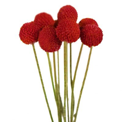 Tinted craspedias red