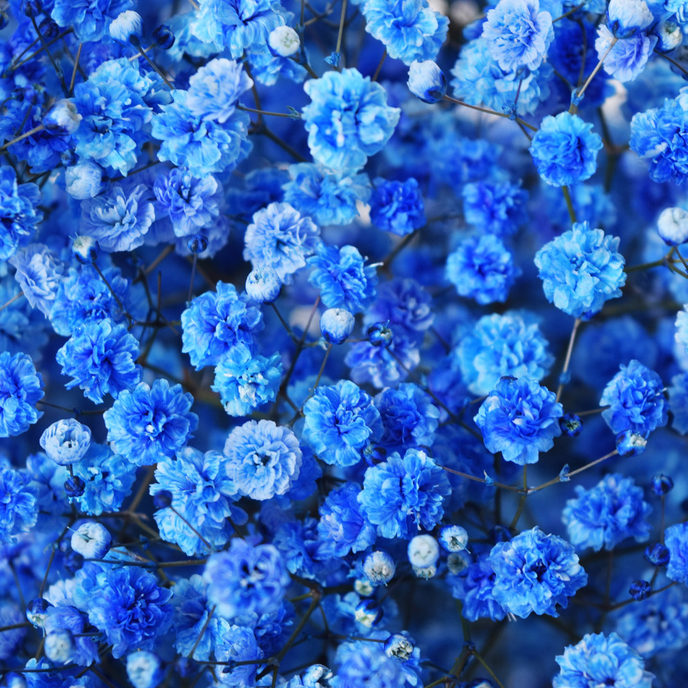 Tinted gypsophila blue close up