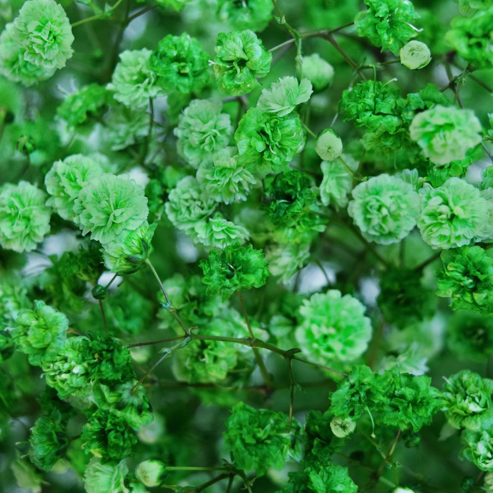 Tinted gypsophila dark green close up