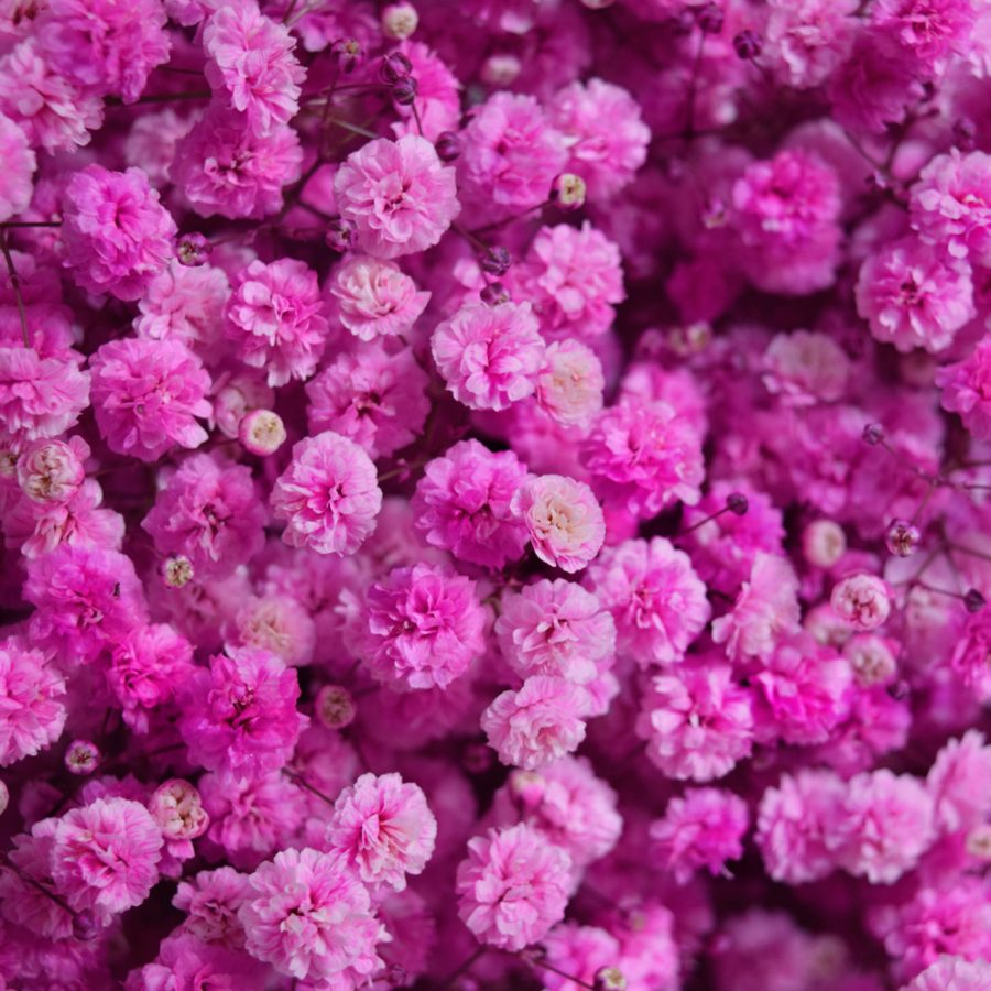 Tinted gypsophila hot pink close up