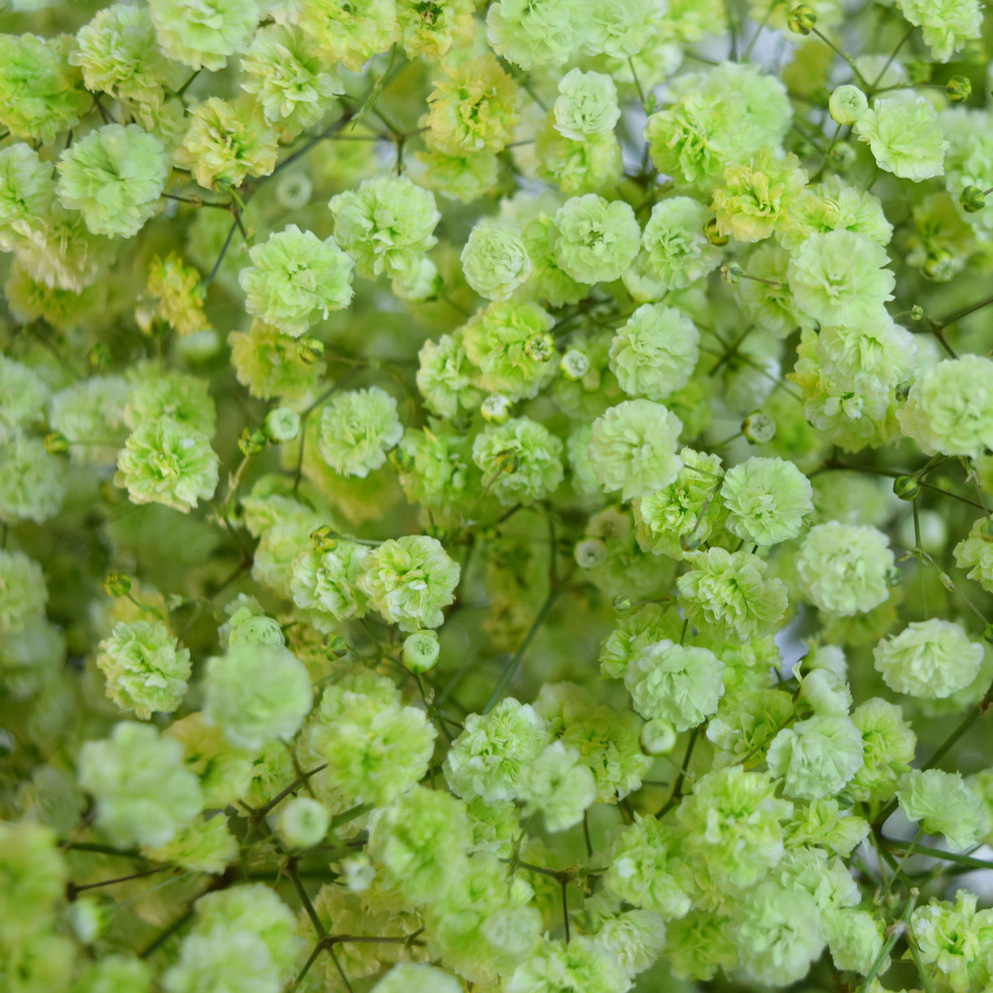 Tinted gypsophila light apple green close up
