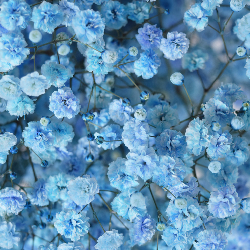 Tinted gypsophila light blue close up