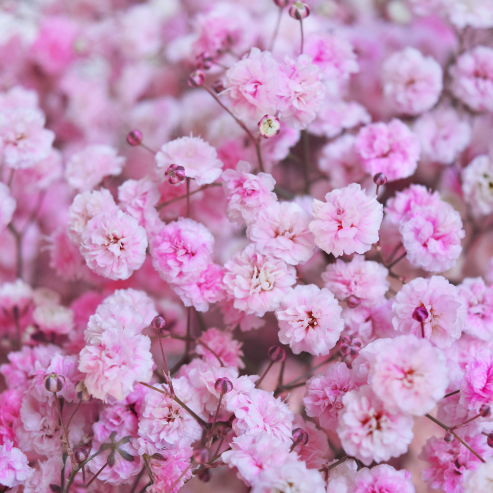 Tinted gypsophila light hot pink close up