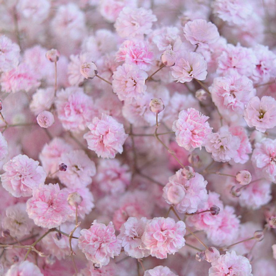 Tinted gypsophila light pink close up
