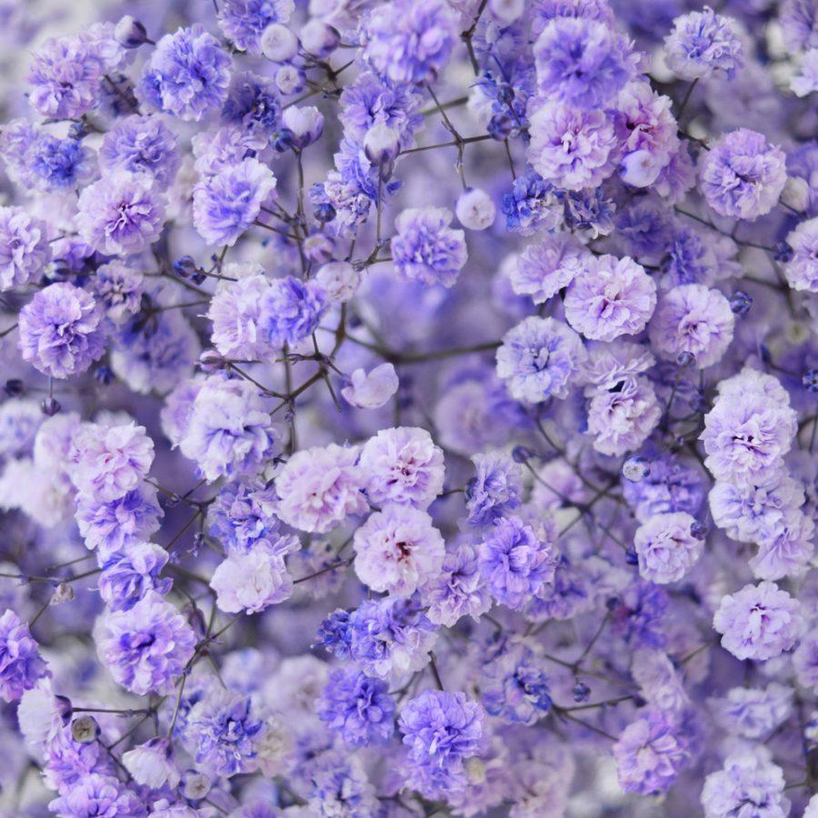 Tinted gypsophila light purple close up