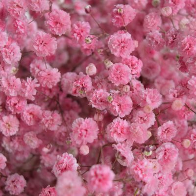 Tinted gypsophila light red close up