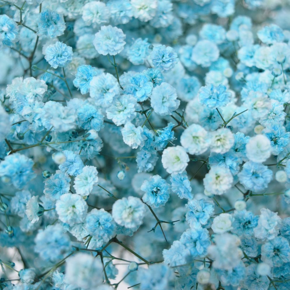 Tinted gypsophila light turquoise close up