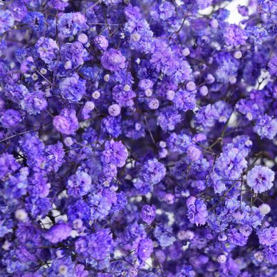 Tinted gypsophila purple close up