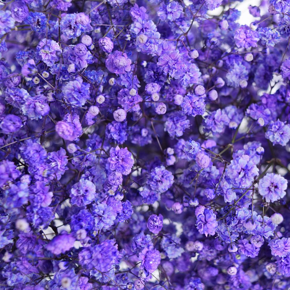 Tinted gypsophila purple close up