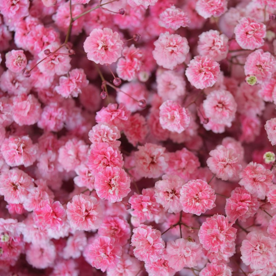 Tinted gypsophila red close up