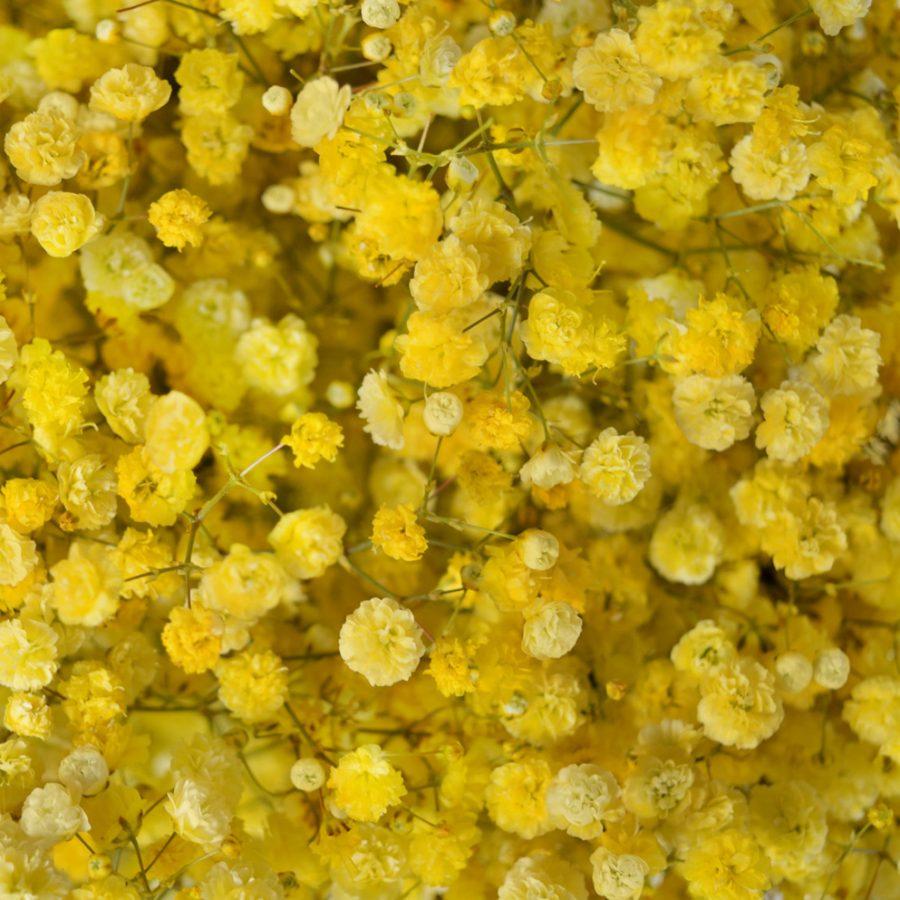 Tinted gypsophila yellow close up