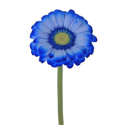 Tinted mini gerbera blue