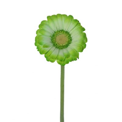 Tinted mini gerbera green