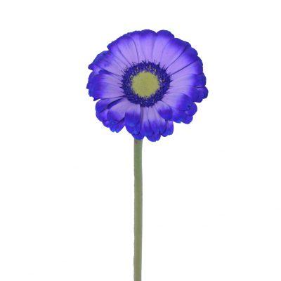 Tinted mini gerbera purple