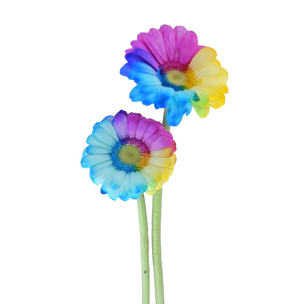 Tinted mini gerbera rainbow side