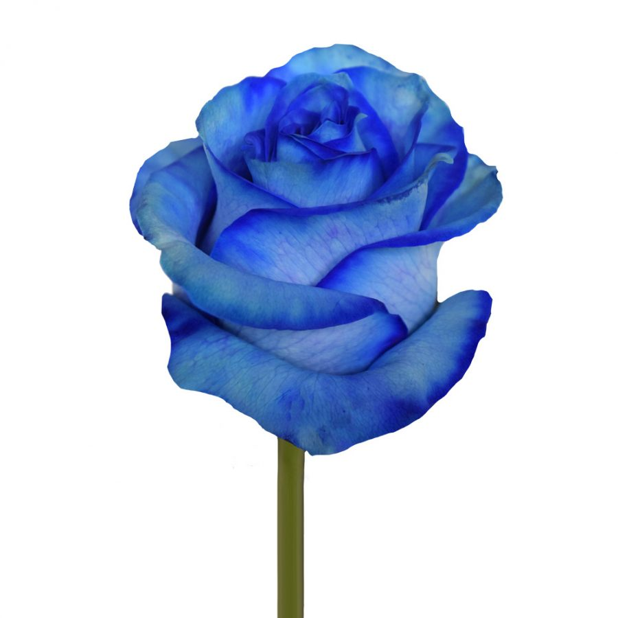 Tinted roses blue side