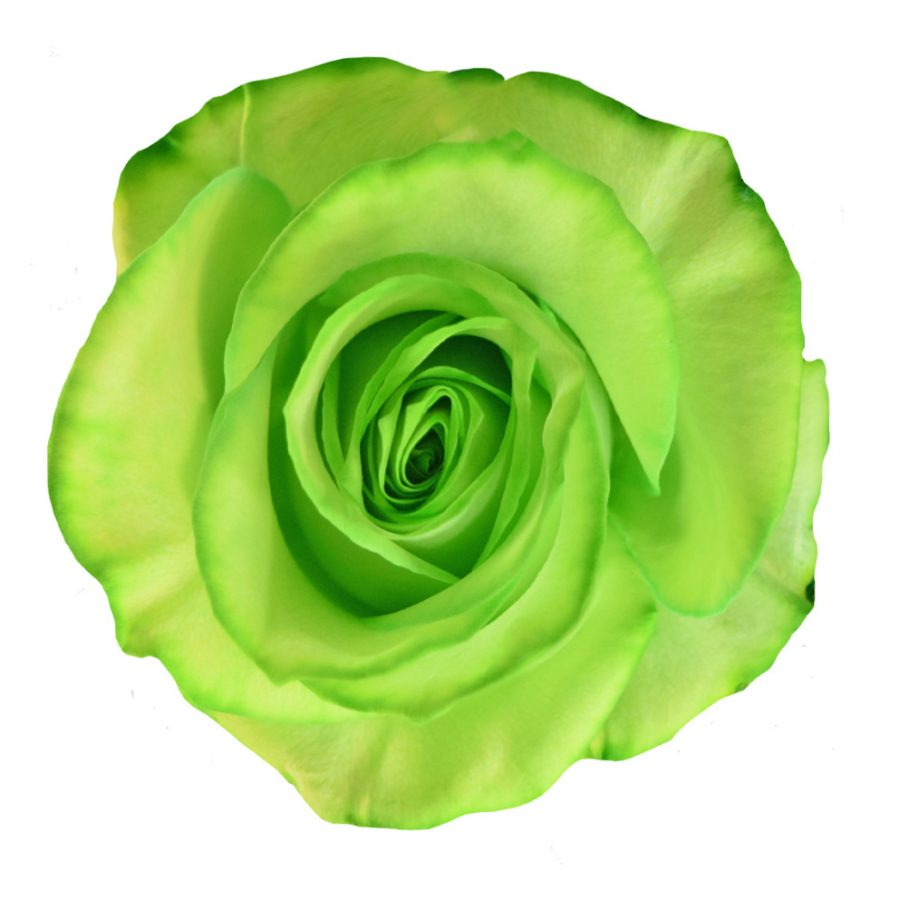 Tinted roses light green