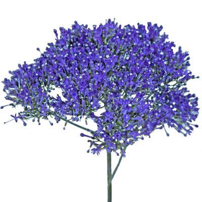 Trachelium violet summer flowers