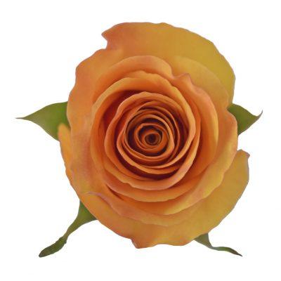 Tycoon orange roses