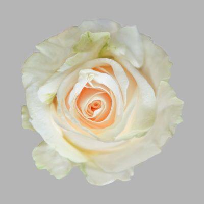 Vendela white roses