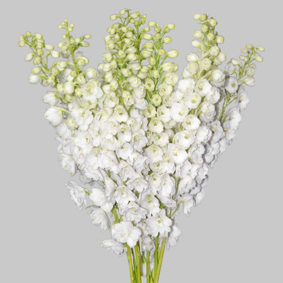 White pacific hybrid delphinium summer flowers close sie