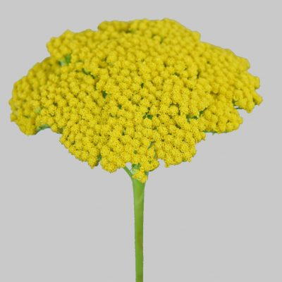 Yarrow achillea summer flowers