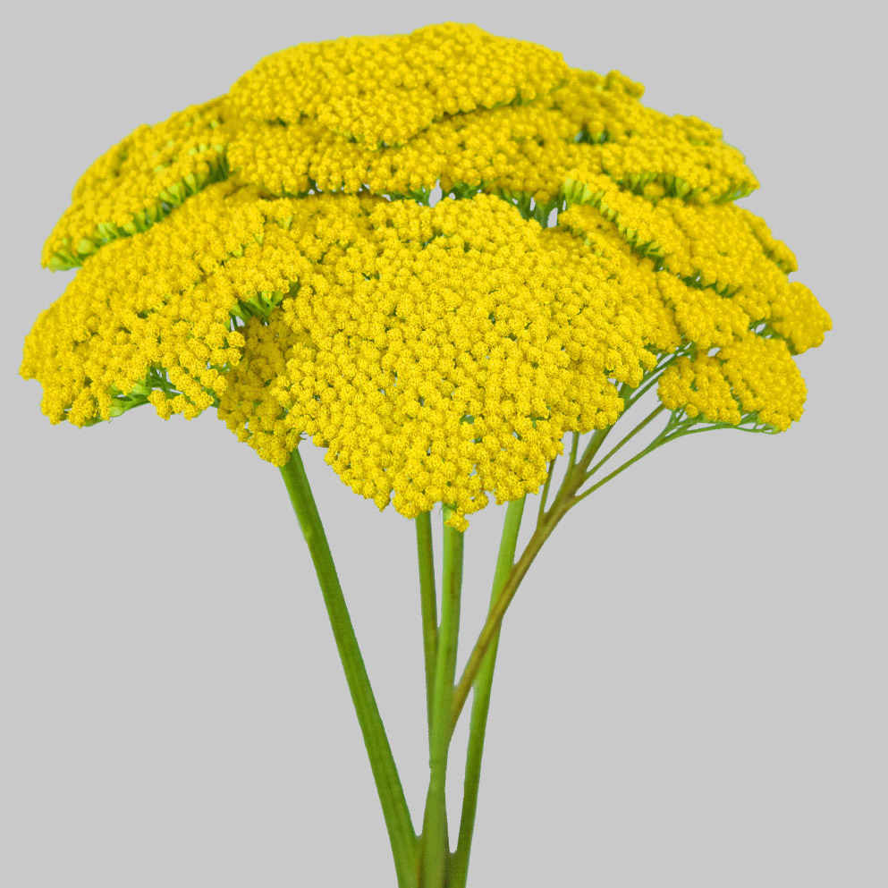 Yarrow achillea summer flowers side